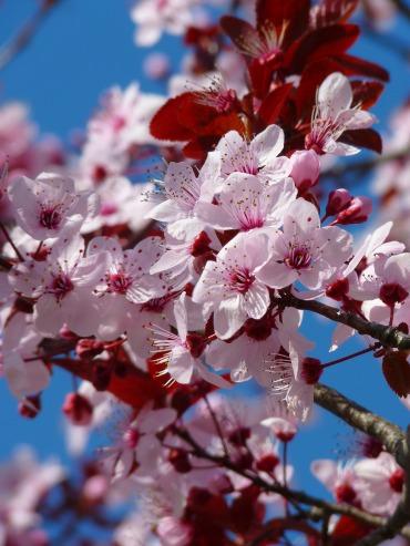 almond-blossom-5376_1920