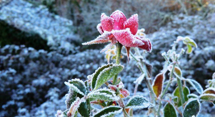 rose en hiver