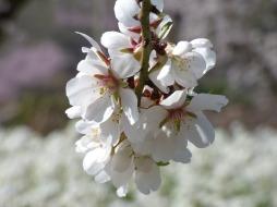fleur amandier
