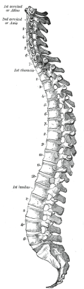 Gray_111_-_Vertebral_column