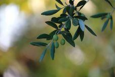 accueil-olivier