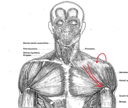 pectoral anatomie yoga