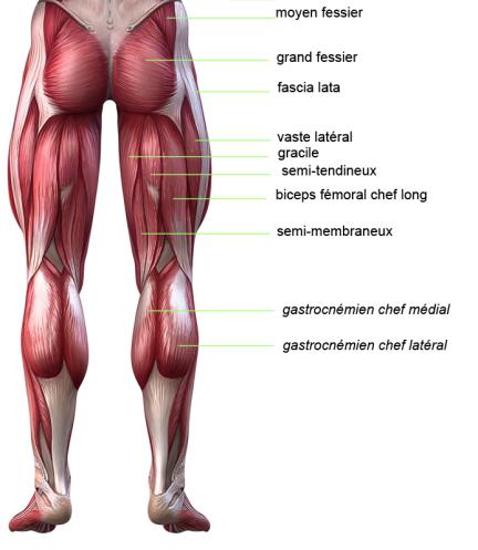 anatomie-ischios-jambier