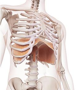 diaphragme yoga uddiyana